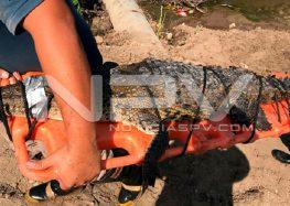 Capturan Cocodrilo en canal de Lago Real