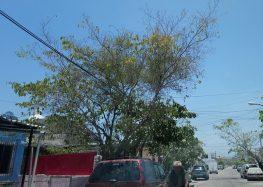 Urge poda de árboles en Valle Dorado antes del temporal de lluvias