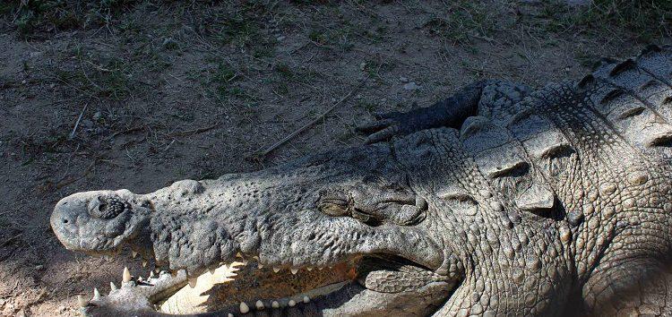 """""""Gente con síndrome de locura y destrucción"""" han matado nidos de cocodrilos"""